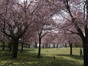 kirsikat ne vaan kukkii